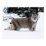 Canadian Lynx in the Snow Postcard