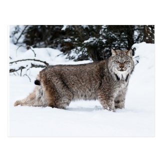 Canadian Lynx in the Snow Post Card