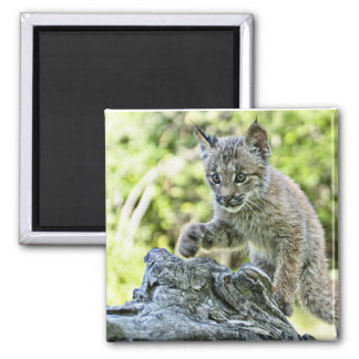 Canadian Lynx Kitten on the Prowl Magnet