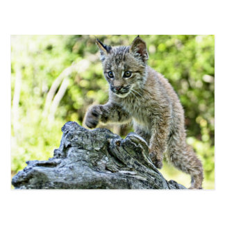 Canadian Lynx Kitten on the Prowl Postcard