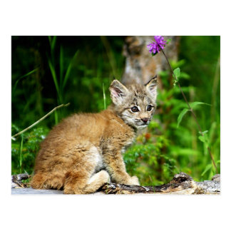 Canadian Lynx Kitten Post Card