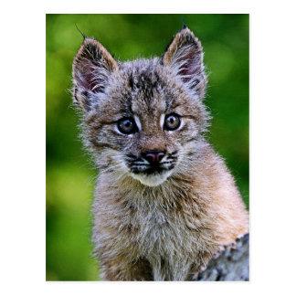 Canadian Lynx Kitten Postcard