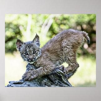 Canadian Lynx Kitten Poster