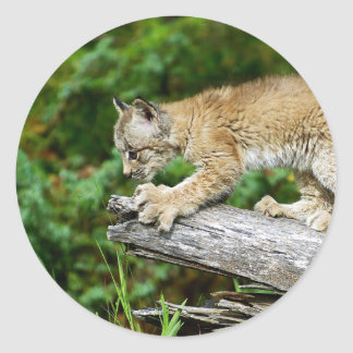 Canadian Lynx Kitten Ready to Pounce Classic Round Sticker