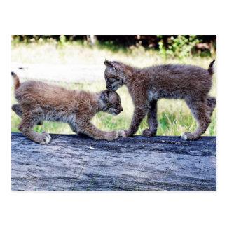 Canadian Lynx Kittens Playing on a Log Postcard