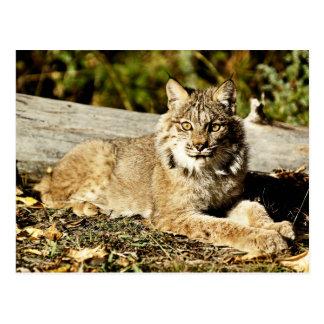 Canadian Lynx Postcard