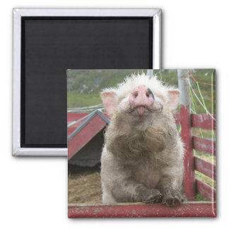 Canadian Miniature Pig 42a 2 Inch Square Magnet