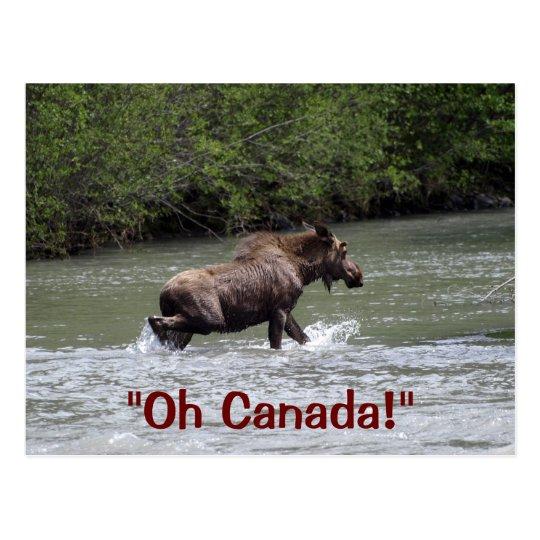 Canadian Moose Wildlife Animal Postcard