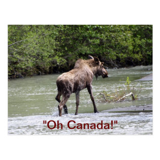 Canadian Moose Wildlife Animal Post Card