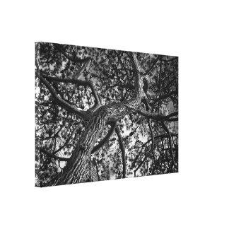 Canadian Pine, Fine Art Photograph Canvas Print