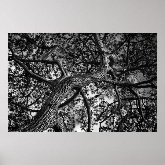 Canadian Pine, Fine Art Photograph Poster