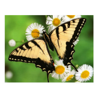 Canadian tiger swallowtail (Lio de papá canadensis
