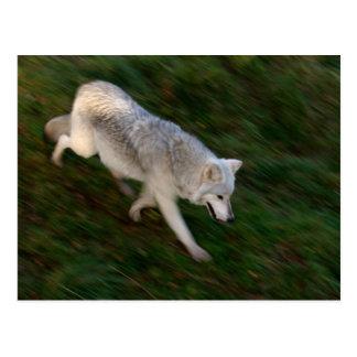 Canadian Timber Wolf Postcard