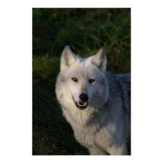 Canadian Timber Wolf Print