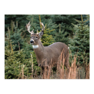 Canadian White Tail Deer  Postcard