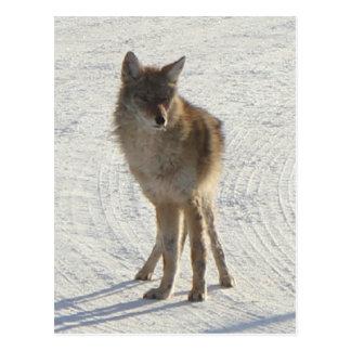 Canadian WIldlife - Coyote in Winter Postcards