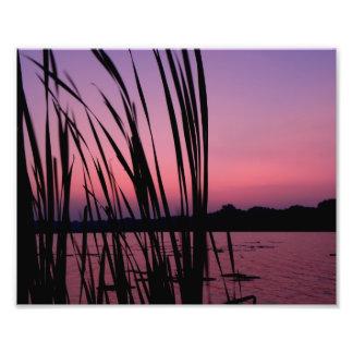 Cañas púrpuras en el amanecer cojinete