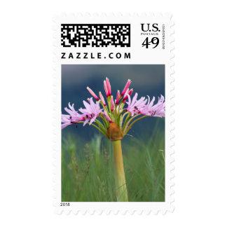 Candelabra Flower (Brunsvigia Radulosa), Umgeni Stamp