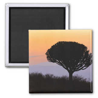 Candelabra Tree silhouetted at sunrise, Magnet