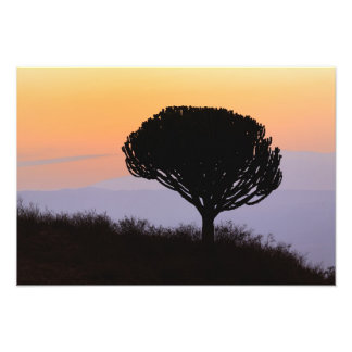 Candelabra Tree silhouetted at sunrise, Photo Print