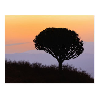 Candelabra Tree silhouetted at sunrise, Postcard