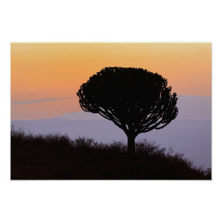 Candelabra Tree silhouetted at sunrise, Poster