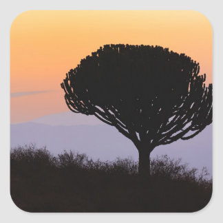 Candelabra Tree silhouetted at sunrise, Square Sticker