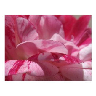 Candy Cane Petals Postcard
