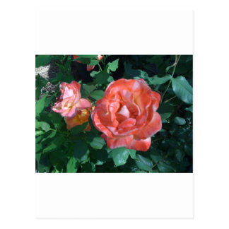 Candy Cane Rose Postcard