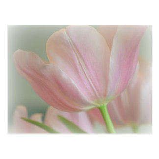Candy Pink Tulip Postcard
