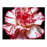 Candy-striped carnation  flowers postcard