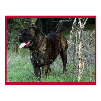 Cane Corso Italian Mastiff Postcard