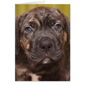 Cane Corso Mastiff Puppy Note Card