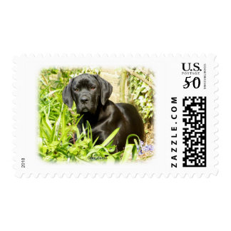 Cane Corso puppy 8R063D-18 Postage