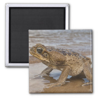 Cane Toad Rhinella marina, previously Bufo 2 Inch Square Magnet