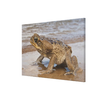 Cane Toad Rhinella marina, previously Bufo Canvas Print
