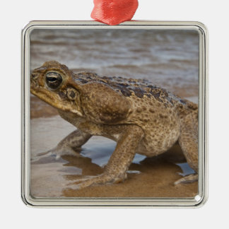 Cane Toad Rhinella marina, previously Bufo Metal Ornament