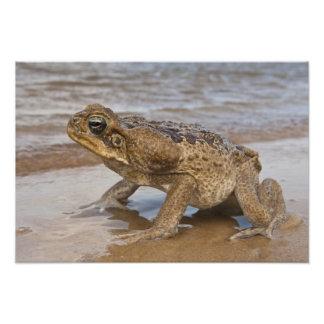 Cane Toad Rhinella marina, previously Bufo Photo Art