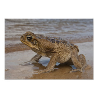 Cane Toad Rhinella marina, previously Bufo Poster