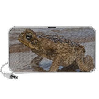 Cane Toad Rhinella marina, previously Bufo Mini Speakers