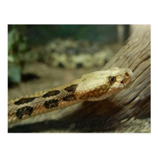 Canebrake Rattlesnake Postcard