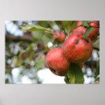 Cangrejo Apple en árbol Poster