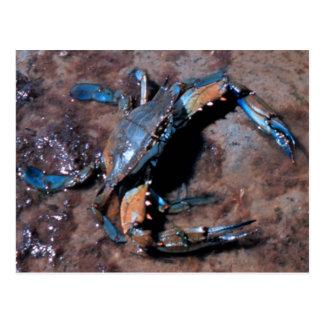 Cangrejo azul de Maryland Tarjetas Postales