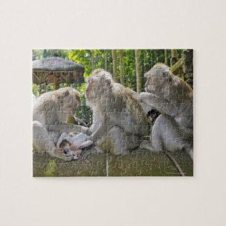 Cangrejo-comiendo el Macaque, fasciularis del Maca Rompecabezas