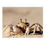 Cangrejo común del fantasma (Ocypode Cordimana) Postal