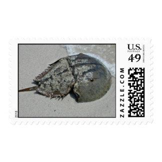 Cangrejo de herradura - varón sello