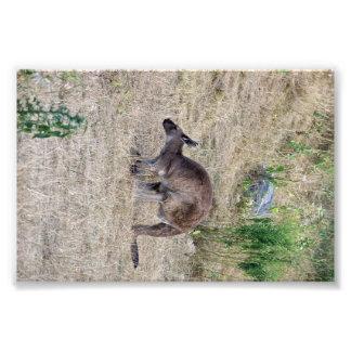canguro impresion fotografica