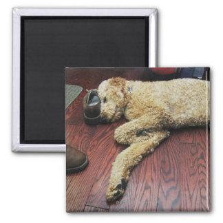 Caniche estándar que duerme en piso imán cuadrado