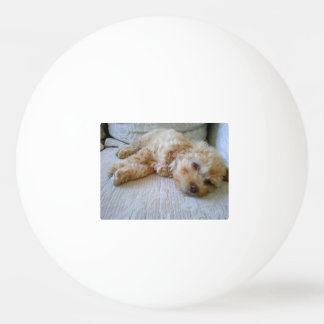 caniche laying.png del albaricoque pelota de ping pong