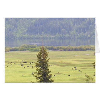 Canim Lake Cattle Note Card